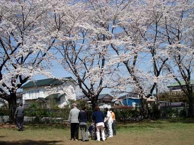 弁天公園の桜